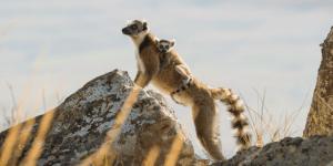 Madagaskar Rundreise Catta Lemur
